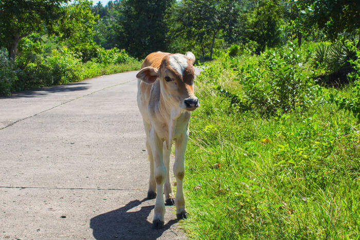 Calf on the road