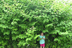Japanese knotweed - teaser